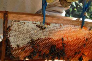 Historia de la apicultura en Colombia