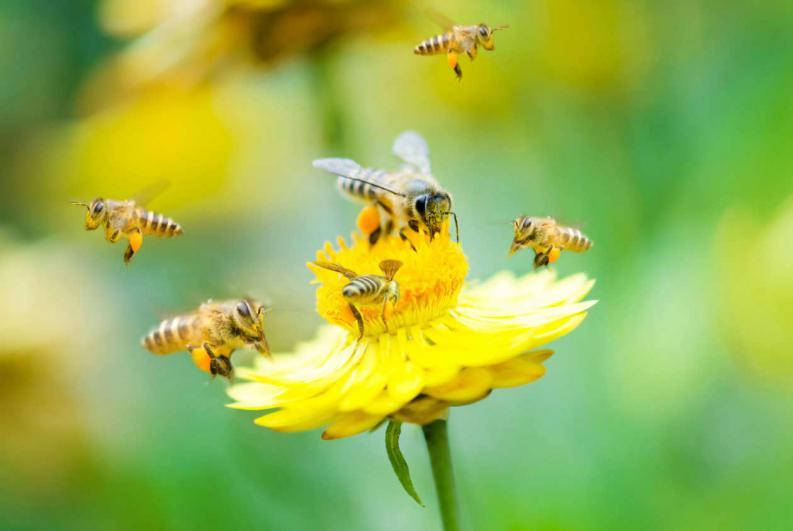 El polen de abejas y su efecto en la testosterona