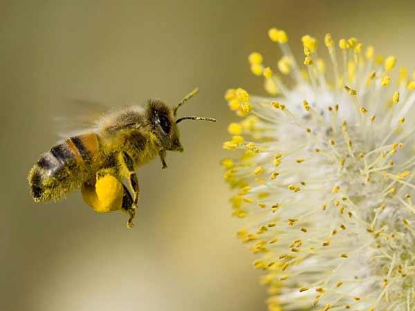 Polen de abeja para niños