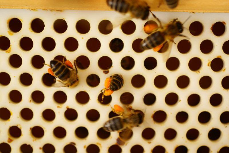Cómo cosechar el polen de abeja