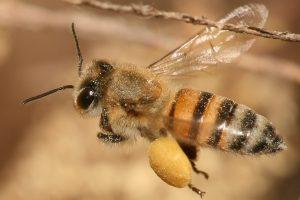 Apis mellifera abeja mortal