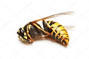 El aguijón de las abejas y su veneno.