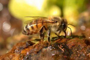 La Apis Ligústica en la apicultura europea