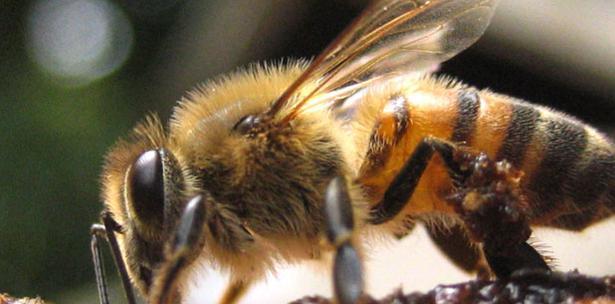 Las abejas Africanas en América Latina