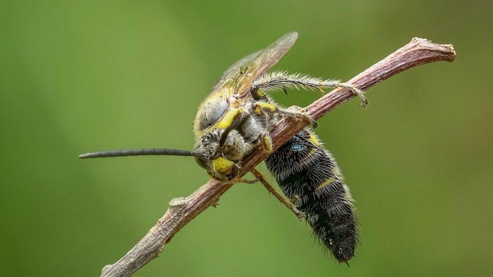 abejas venenosas