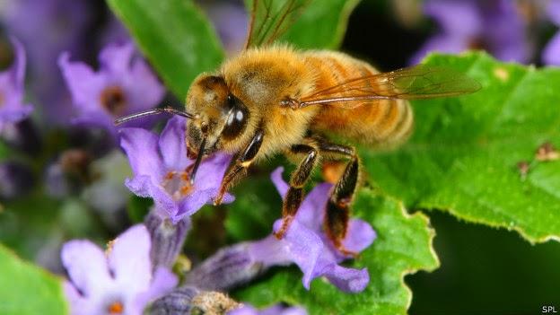 abejas italianas