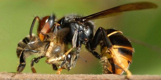 vespa-velutina destacada